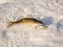 Pike perch on ice Stock Photography