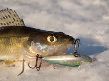 Pike perch on ice Royalty Free Stock Photography