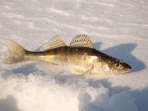 Pike perch on ice Royalty Free Stock Image