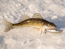 Pike perch on ice Royalty Free Stock Photos
