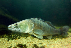 The Pike Perch (Sander Lucioperca). Royalty Free Stock Photos