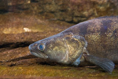 Pike Perch - Sander lucioperca Royalty Free Stock Images