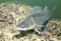 Pike perch Sander lucioperca underwater photography. Freshwater fish pike perch Sander lucioperca in the beautiful clean pound. Underwater shot in the lake. Wild royalty free stock photography