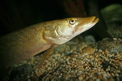 Pike portrait royalty free stock images