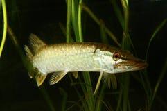 Pike predatory fish swimming  in the lake Royalty Free Stock Photo