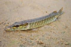 Pike que encontra-se na areia. Imagens de Stock