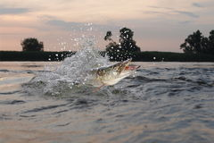 Pike in river Royalty Free Stock Image