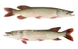 pike ryb zdjęcia royalty free