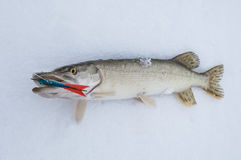 Pike on snow. Ice fishing Royalty Free Stock Photo