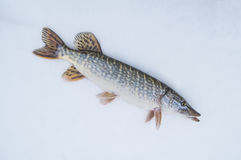 Pike on snow. Ice fishing Royalty Free Stock Image