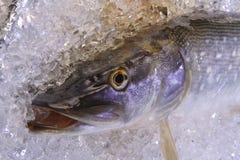 Pike su ghiaccio Immagini Stock