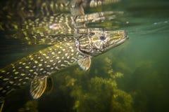 Pike subacuático Foto de archivo libre de regalías