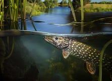 Pike subaquático selvagem imagens de stock