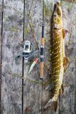 Pike super catch on spinning Royalty Free Stock Image