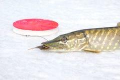 Pike sur la glace Photo stock