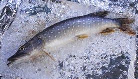 Pike sur la glace Images libres de droits