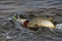 Pike sur le crochet Eau froide avec les bulles et le côté jaune du Images stock