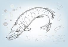 Pike tirado no lápis, ilustração do vetor Imagem de Stock