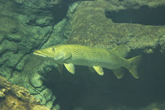 Pike. Underwater photo from a pike - fish photography stock image