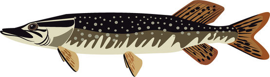Pike vector illustration. Freshwater fish stock illustration