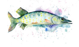 Pike watercolor Royalty Free Stock Image