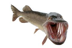 Pike with wide open mouth free Stock Photos