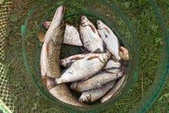 Pike y brema en una jaula pesquera Fisherman& x27; presa de s foto de archivo
