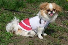 Pikenes do cão Imagens de Stock Royalty Free
