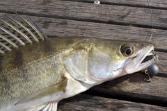 pikeperch Obrazy Royalty Free