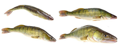Pikeperch Royalty Free Stock Image