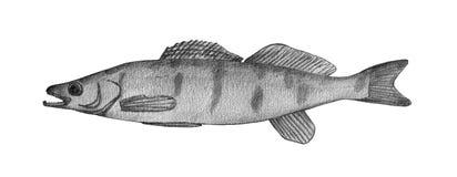 Pikeperch. Hand drawn black pencil realistic illustration.