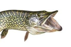 Pikfisk som isoleras på vit bakgrund Huvud av trofén med den öppna käken med tänder arkivfoton