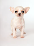Piękna mała biała szczeniaka chihuahua pozycja Fotografia Stock