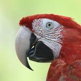 Piękna ptasia szkarłatna ara Obrazy Stock