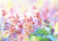 Piękna purpurowa łąka kwitnie w wczesnej wiośnie Fotografia Royalty Free