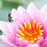 Piękne menchie waterlily, lotosowy kwiat z pszczołą lub Zdjęcia Royalty Free