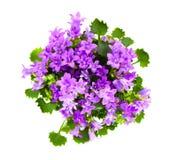 Pięknego żywego purpurowego wiosna kwiatu krzaka Dalmatyński bellflower Zdjęcie Royalty Free
