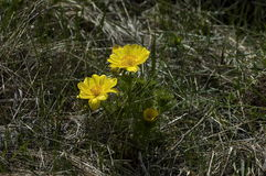 Piękni żółci kwiaty Adonis vernalis Zdjęcie Stock