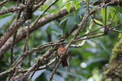 Pięknie pomarańczowy olśniewający sunbeam hummingbird Obraz Royalty Free