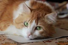 Piękno pomarańczowy pomarańczowy biały kot w sen Obraz Royalty Free