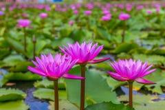 Piękno różowy lotosowy kwiat Obraz Royalty Free