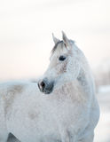 Piękny biały koń w zimie Fotografia Royalty Free