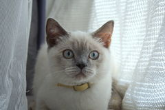Piękny błękitnooki kot Fotografia Royalty Free