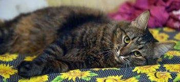 Piękny brown kot Fotografia Stock