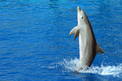 Piękny delfinu dopłynięcie na jego ogonie Fotografia Stock