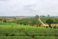 Piękny krajobraz Choui Fong Herbaciana plantacja Zdjęcia Royalty Free