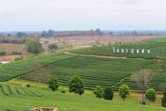 Piękny krajobraz Choui Fong Herbaciana plantacja Fotografia Royalty Free