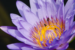 Piękny lotos i pszczoła Zdjęcie Royalty Free