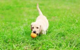 Piękny psi szczeniak Labrador Retriever bawić się z gumową piłką Zdjęcie Royalty Free