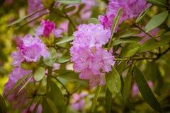 Piękny różowy różanecznik kwitnie na naturalnym tle Obraz Royalty Free